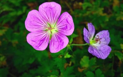 Featured Essential Oil: Geranium